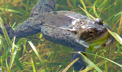 toad in the lake wetlands nature reserve at the wellcome genome campus